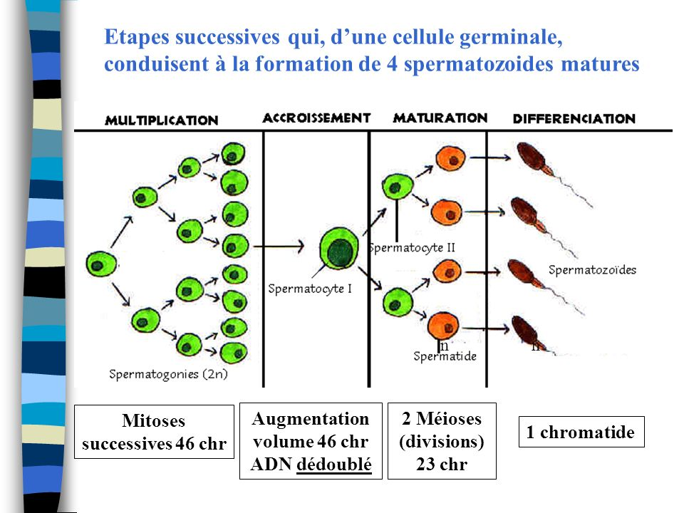Etapes successives qui, dune cellule germinale, conduisent à la formation de 4 spermatozoides matures Mitoses successives 46 chr Augmentation volume 4