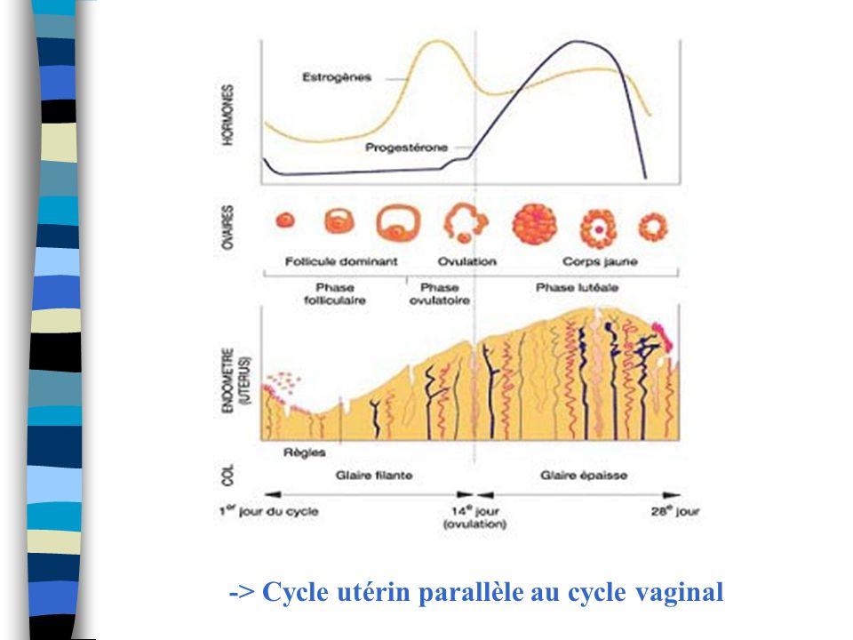 -> Cycle utérin parallèle au cycle vaginal