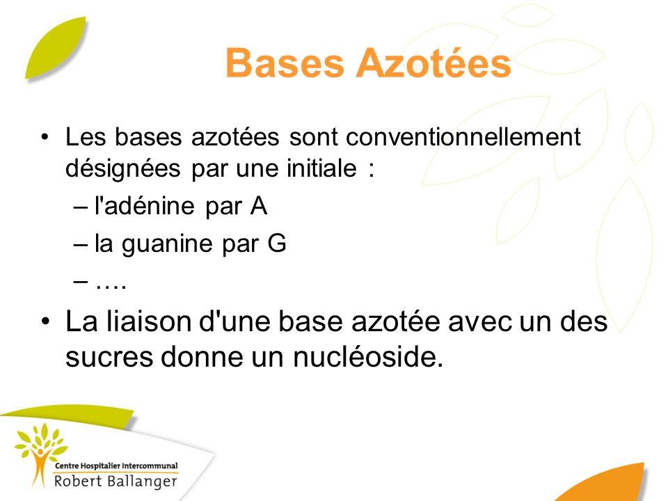 Bases Azotées Les bases azotées sont conventionnellement désignées par une initiale : –l'adénine par A –la guanine par G –…. La liaison d'une base azo
