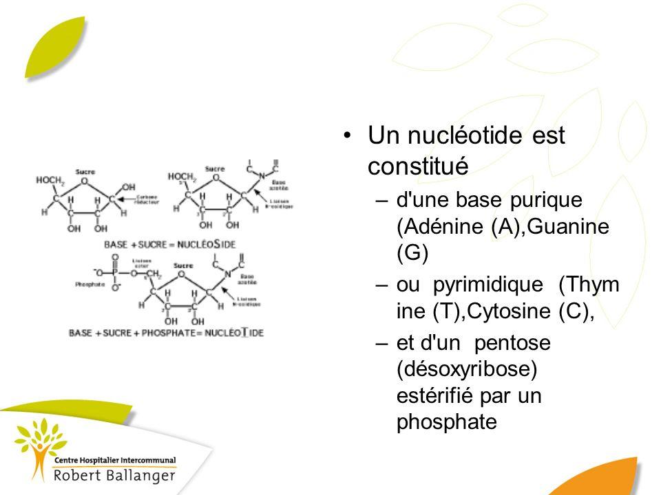 Un nucléotide est constitué –d'une base purique (Adénine (A),Guanine (G) –ou pyrimidique (Thym ine (T),Cytosine (C), –et d'un pentose (désoxyribose) e