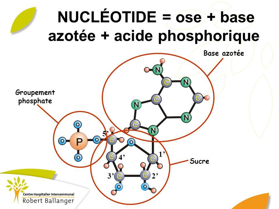 NUCLÉOTIDE = ose + base azotée + acide phosphorique Base azotée Sucre Groupement phosphate 1 23 4 5