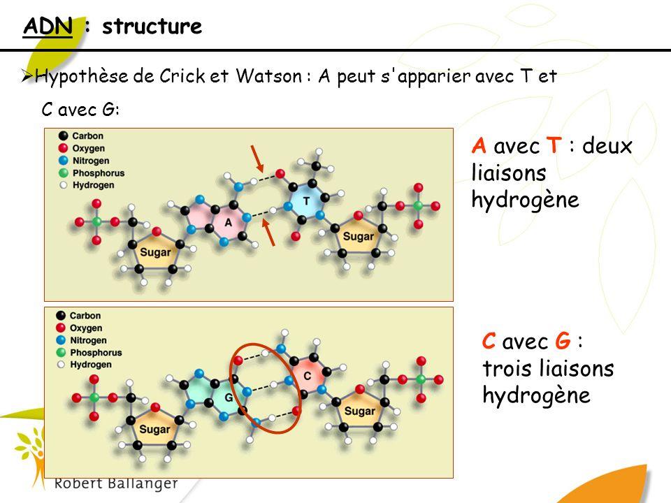 ADN : structure Hypothèse de Crick et Watson : A peut s'apparier avec T et C avec G: A avec T : deux liaisons hydrogène C avec G : trois liaisons hydr
