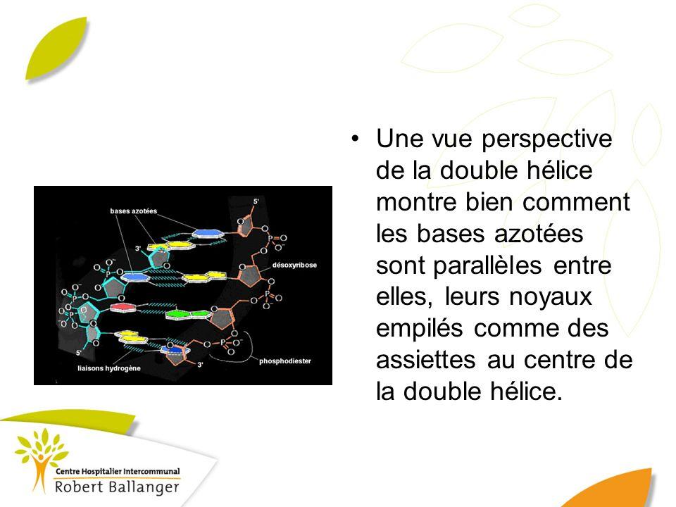 Une vue perspective de la double hélice montre bien comment les bases azotées sont parallèles entre elles, leurs noyaux empilés comme des assiettes au