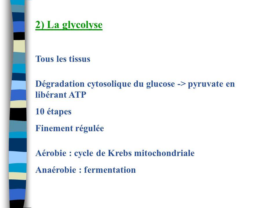 2) La glycolyse Tous les tissus Dégradation cytosolique du glucose -> pyruvate en libérant ATP 10 étapes Finement régulée Aérobie : cycle de Krebs mit