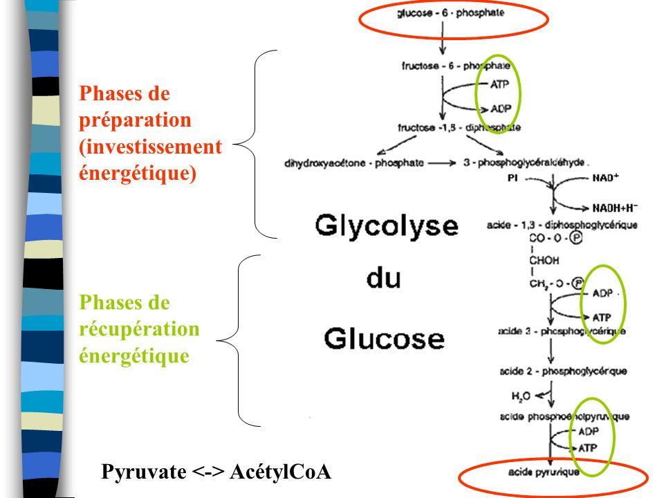 Phases de préparation (investissement énergétique) Phases de récupération énergétique Pyruvate AcétylCoA