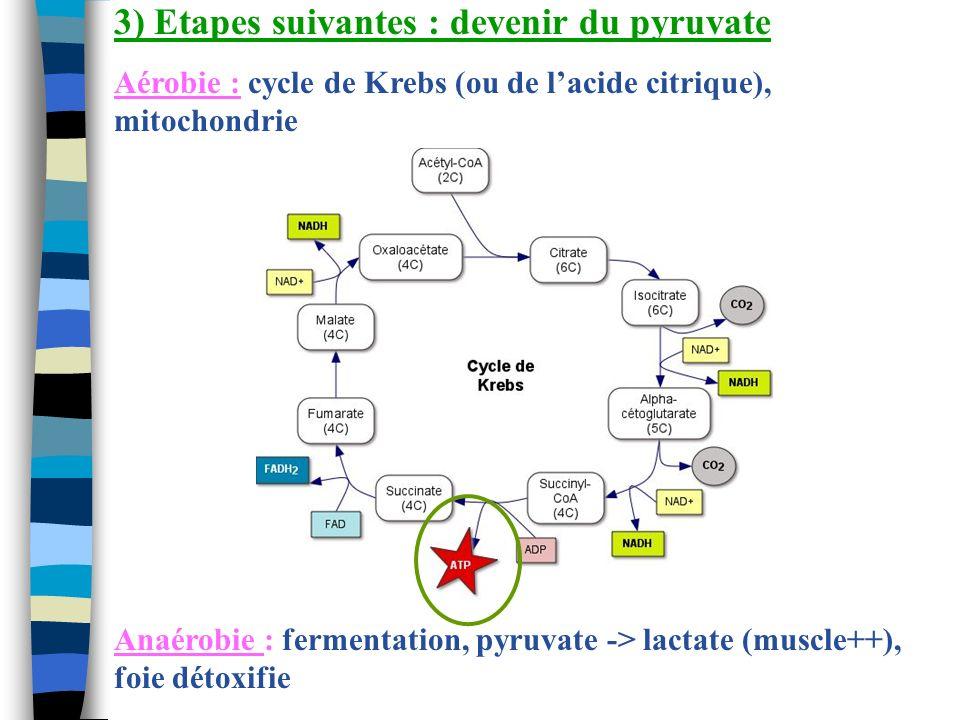 3) Etapes suivantes : devenir du pyruvate Aérobie : cycle de Krebs (ou de lacide citrique), mitochondrie Anaérobie : fermentation, pyruvate -> lactate
