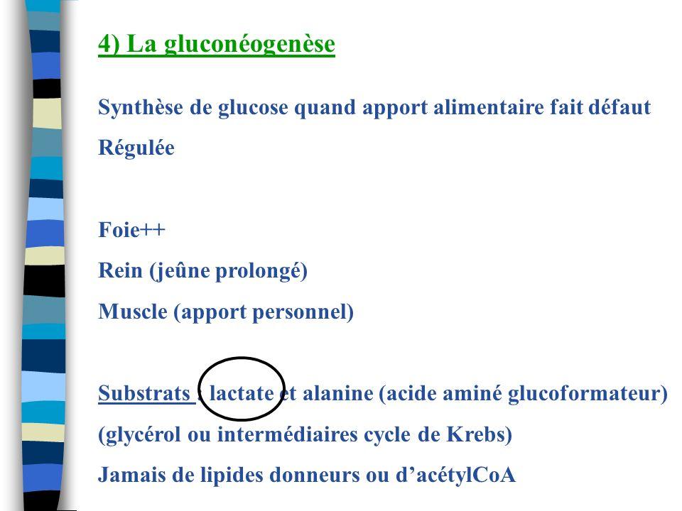 4) La gluconéogenèse Synthèse de glucose quand apport alimentaire fait défaut Régulée Foie++ Rein (jeûne prolongé) Muscle (apport personnel) Substrats