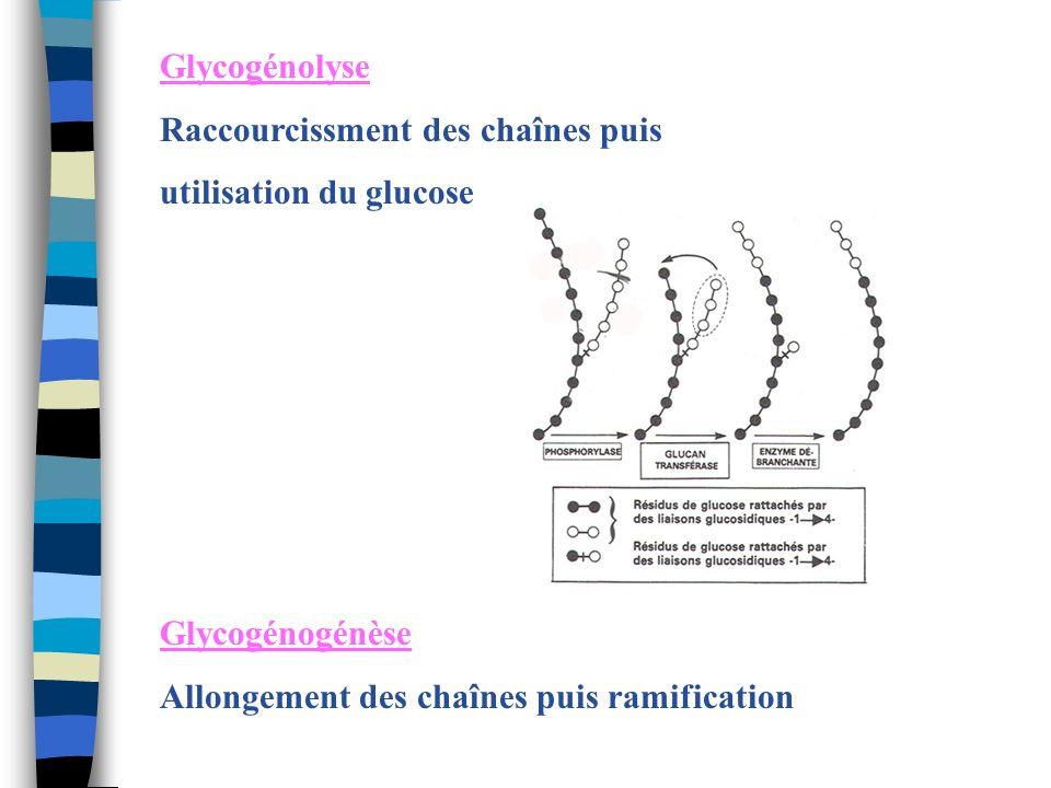 Glycogénolyse Raccourcissment des chaînes puis utilisation du glucose Glycogénogénèse Allongement des chaînes puis ramification