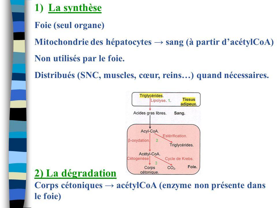 1)La synthèse Foie (seul organe) Mitochondrie des hépatocytes sang (à partir dacétylCoA) Non utilisés par le foie. Distribués (SNC, muscles, cœur, rei