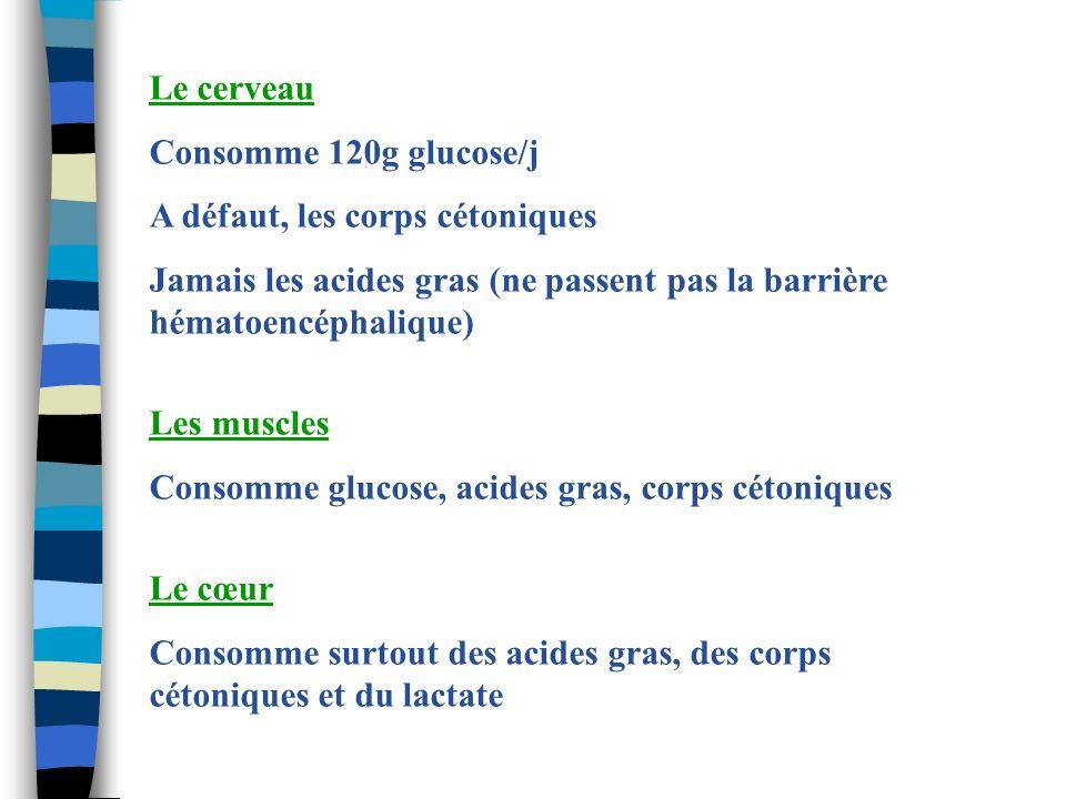 Le cerveau Consomme 120g glucose/j A défaut, les corps cétoniques Jamais les acides gras (ne passent pas la barrière hématoencéphalique) Les muscles C