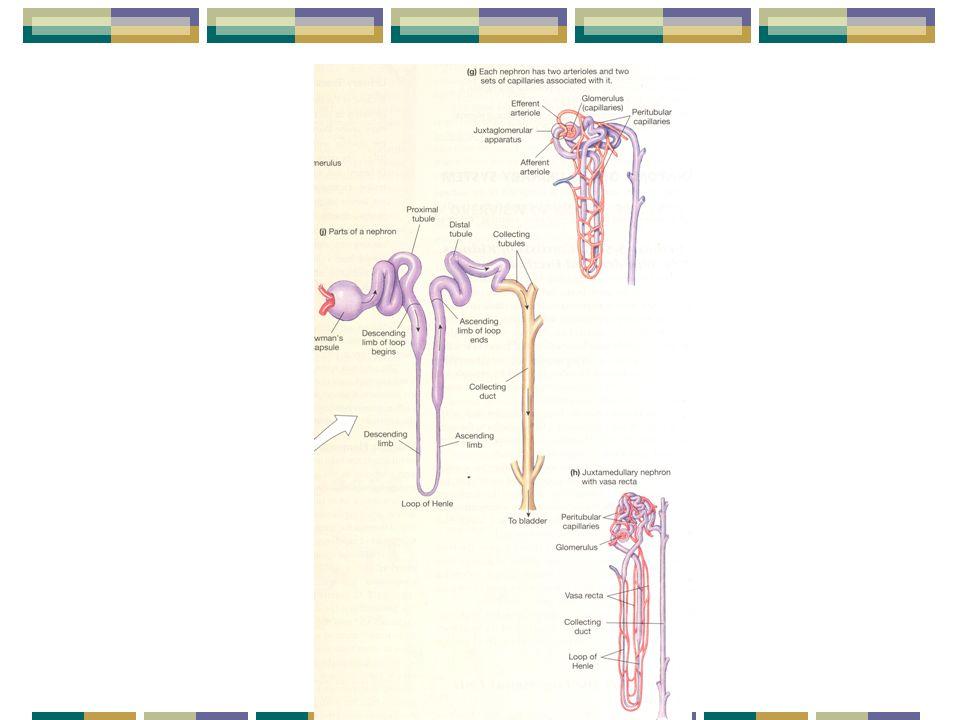 PHYSIOLOGIE RÉNALE 2- Circulation rénale: Régulation: Rôle du système nerveux sympathique Linnervation sympathique rénale exerce ses effets vasoconstricteurs que dans les situations durgence Conséquences: Baisse du débit de filtration glomérulaire