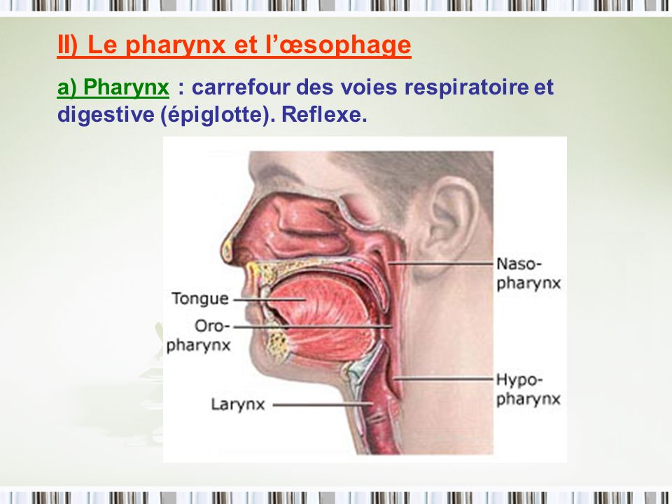 II) Le pharynx et lœsophage a) Pharynx : carrefour des voies respiratoire et digestive (épiglotte). Reflexe.