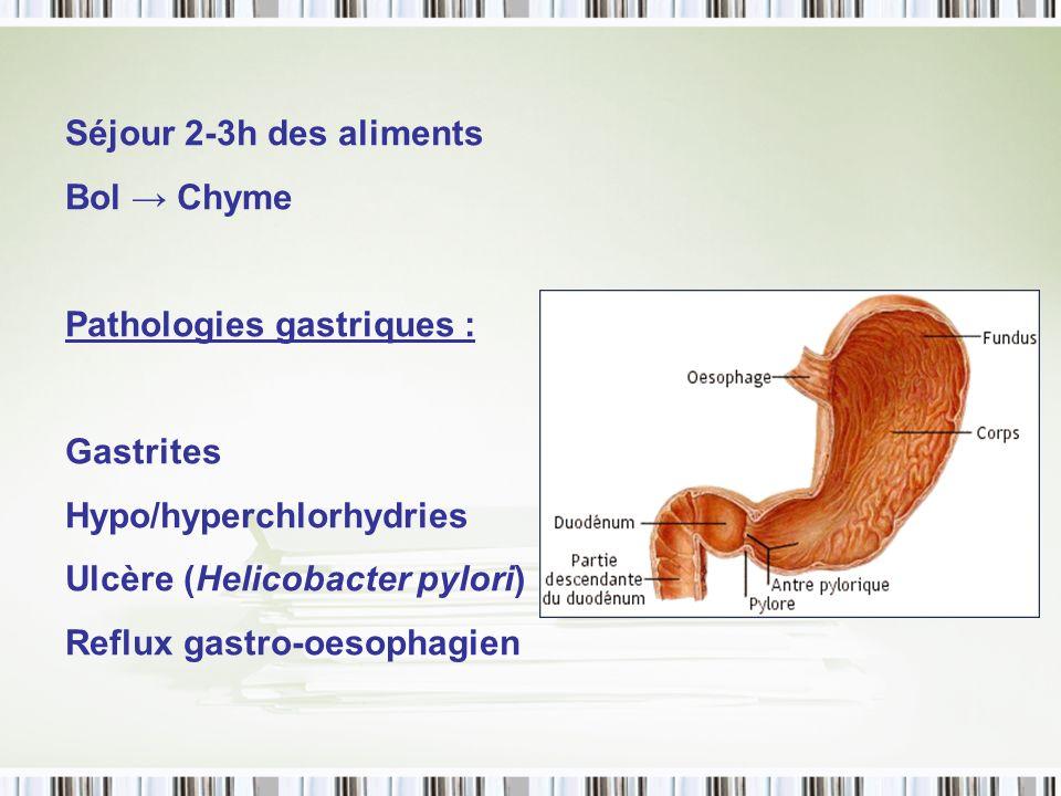 Séjour 2-3h des aliments Bol Chyme Pathologies gastriques : Gastrites Hypo/hyperchlorhydries Ulcère (Helicobacter pylori) Reflux gastro-oesophagien