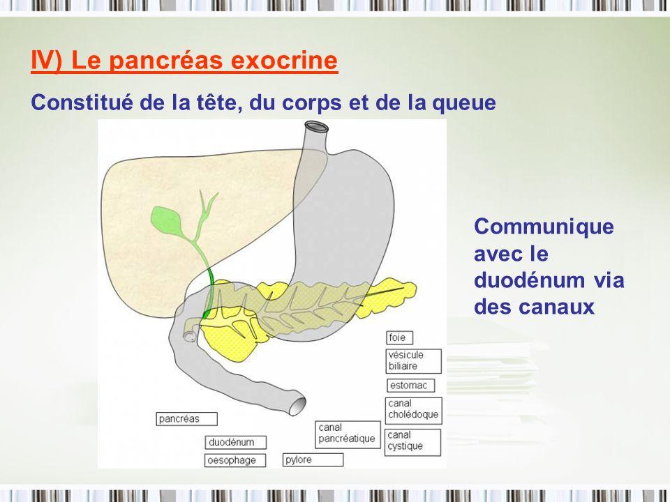 IV) Le pancréas exocrine Constitué de la tête, du corps et de la queue Communique avec le duodénum via des canaux