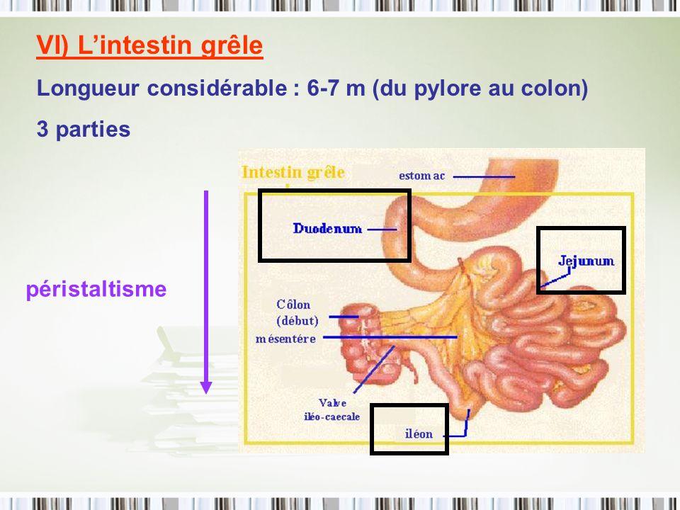 VI) Lintestin grêle Longueur considérable : 6-7 m (du pylore au colon) 3 parties péristaltisme
