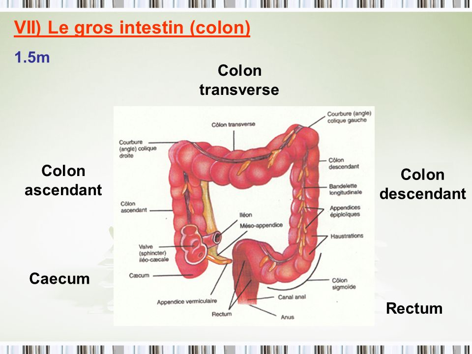 VII) Le gros intestin (colon) 1.5m Caecum Colon ascendant Colon transverse Colon descendant Rectum