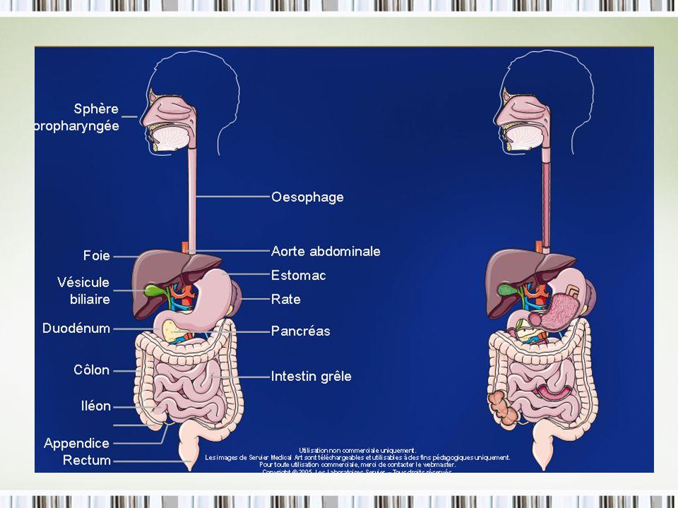 b) Lœsophage Tube souple équipé de 2 sphincters Déglutition (coordonnée avec lépiglotte, pseudo-peristaltisme)