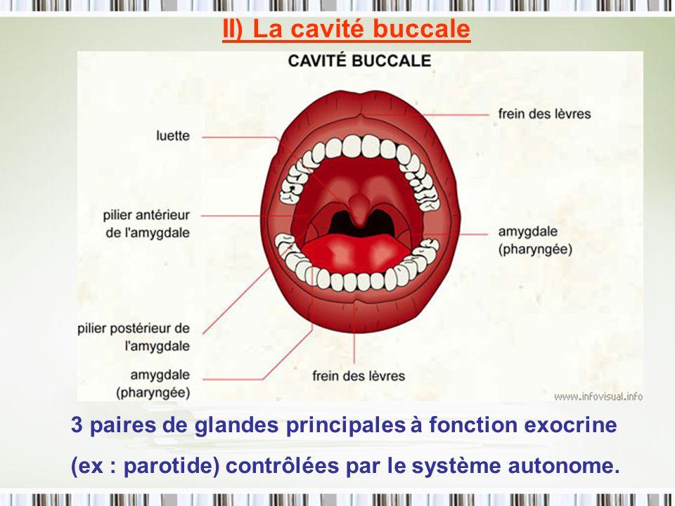 II) La cavité buccale 3 paires de glandes principales à fonction exocrine (ex : parotide) contrôlées par le système autonome.