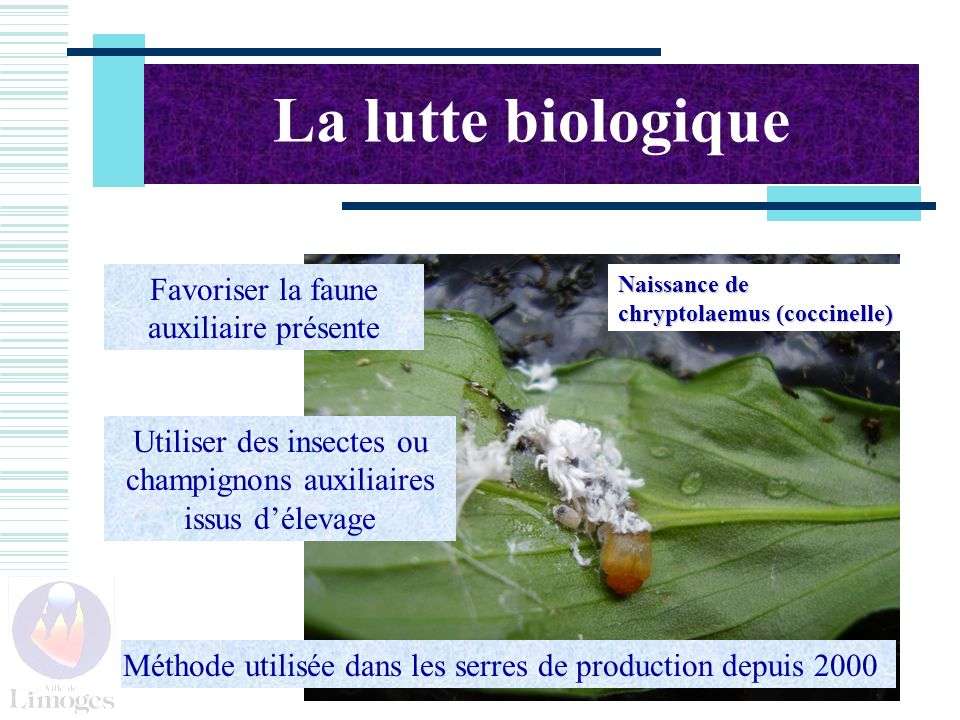 Naissance de chryptolaemus (coccinelle) La lutte biologique Favoriser la faune auxiliaire présente Utiliser des insectes ou champignons auxiliaires issus délevage Méthode utilisée dans les serres de production depuis 2000