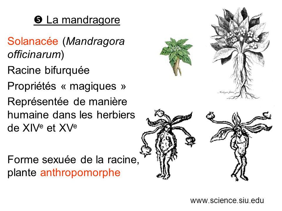 La mandragore Solanacée (Mandragora officinarum) Racine bifurquée Propriétés « magiques » Représentée de manière humaine dans les herbiers de XIV e et