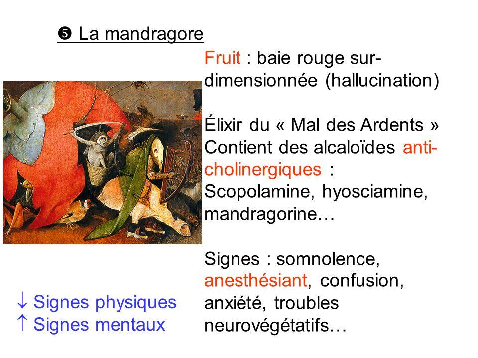 La mandragore Fruit : baie rouge sur- dimensionnée (hallucination) Élixir du « Mal des Ardents » Contient des alcaloïdes anti- cholinergiques : Scopol