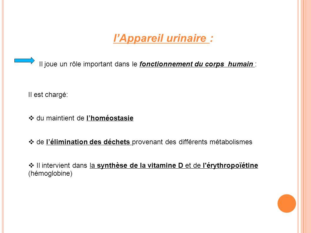 La composition de lappareil urinaire : Celui-ci est composé des reins et de la voie excrétrice.
