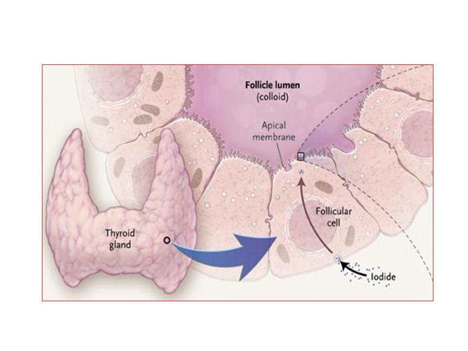 Le follicule thyroïdien Thyréocyte Cellule C T4 (100 %) T3 (20%) Calcitonine