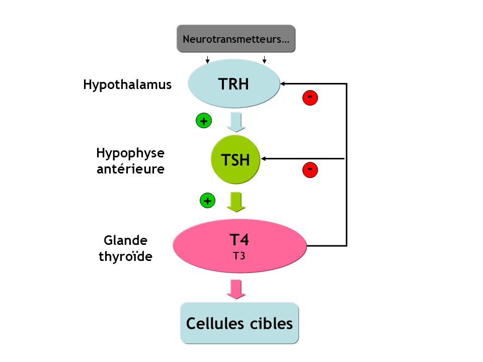 TRH Hypothalamus TSH Hypophyse antérieure T4 T3 Glande thyroïde Cellules cibles - - + + Neurotransmetteurs…