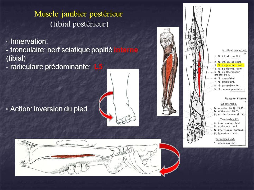 Muscle jambier postérieur (tibial postérieur) Innervation: tronculaire: nerf sciatique poplité interne (tibial) radiculaire prédominante: L5 Action: i