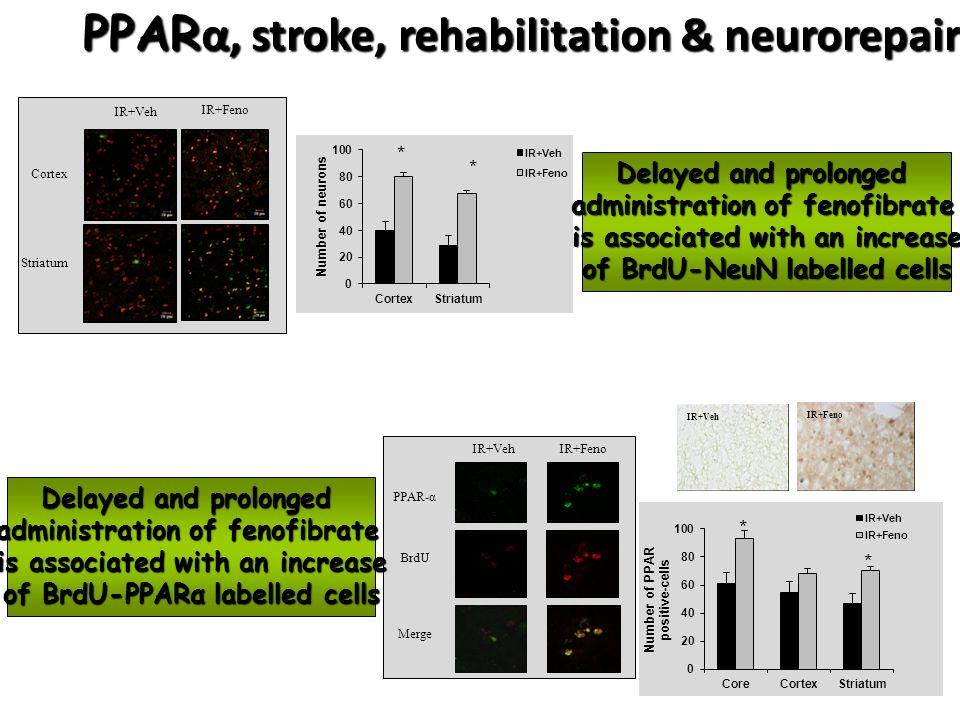 IR+Feno Striatum Cortex IR+Veh IR+Feno PPAR-α BrdU Merge IR+Veh IR+Feno PPAR α, stroke, rehabilitation & neurorepair Delayed and prolonged administrat