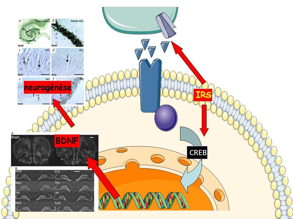 CREB BDNF neurogénèse IRS