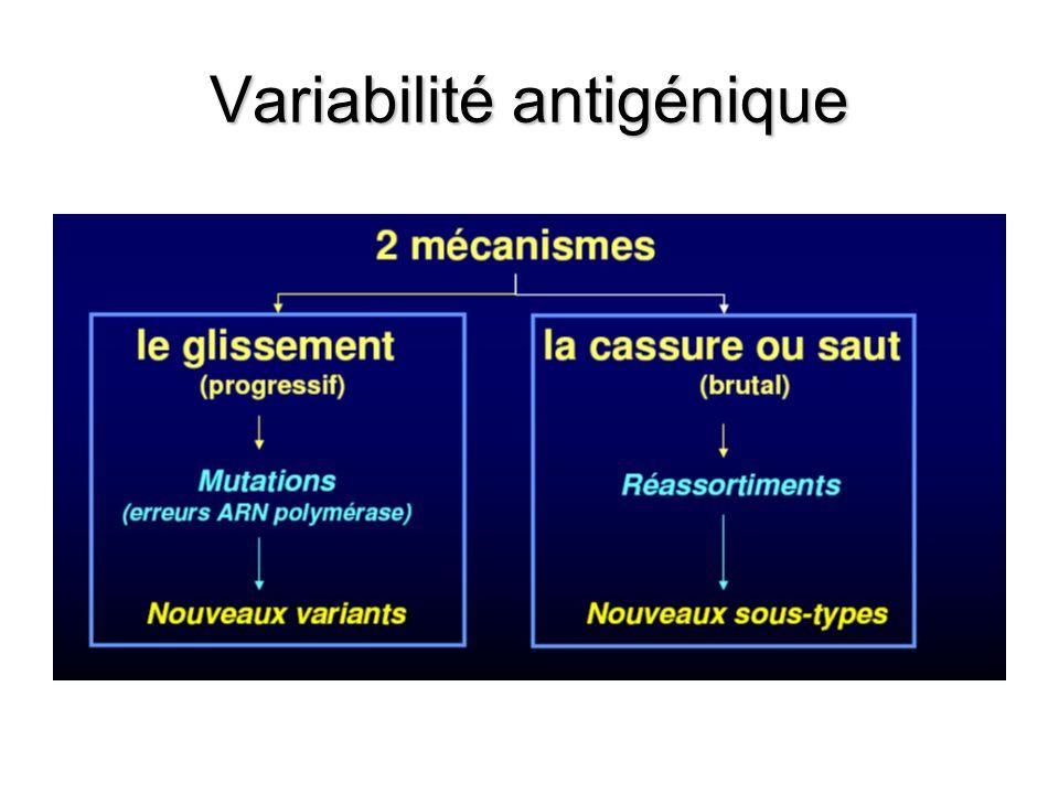 Glissement ou dérive antigénique –Virus A, B et C –Phénomène constant, continu dans le temps –Accumulation de mutations lors de la réplication du génome viral –Pression de sélection exercée par le système immunitaire de lhôte (élimination de la souche non mutée) 4.10 -3 (virus A) substitutions nucléotidiques par site et par an pour HA = variation 1% par an de la séquence en aa de HA dune année sur lautre (mineure) A lorigine de la reformulation régulière du vaccin (trivalent).