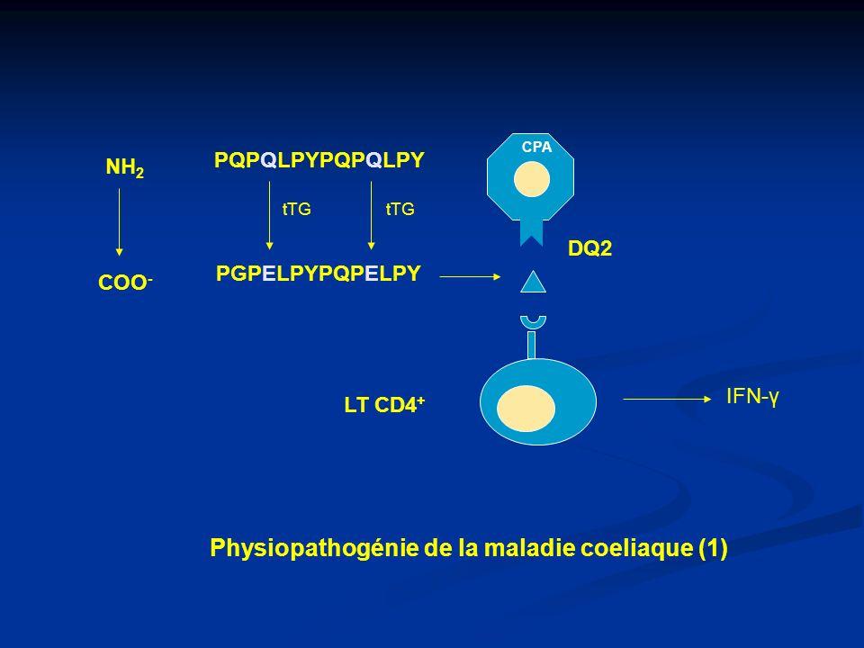 Plasmocytes à IgA Y Y Y Y Y Y LT CD4 + G GG Y tTG + LB tTG G Complexe tTG/gliadine Physiopathogénie de la maladie coeliaque (2)
