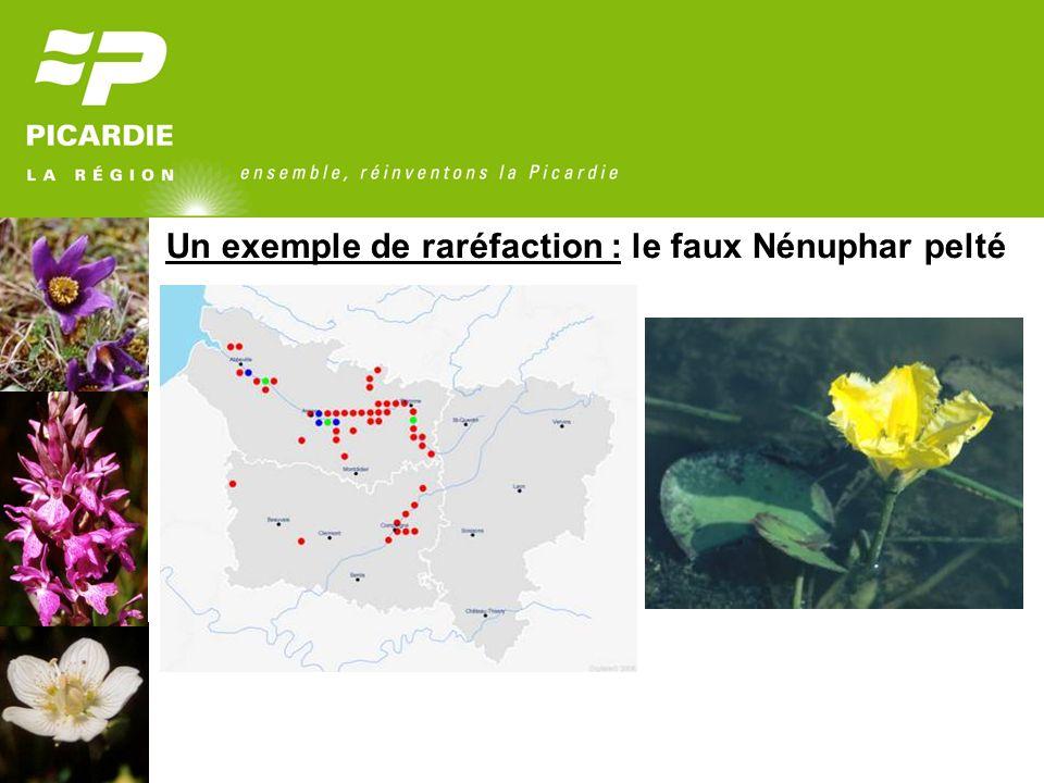 Un exemple de raréfaction : le faux Nénuphar pelté