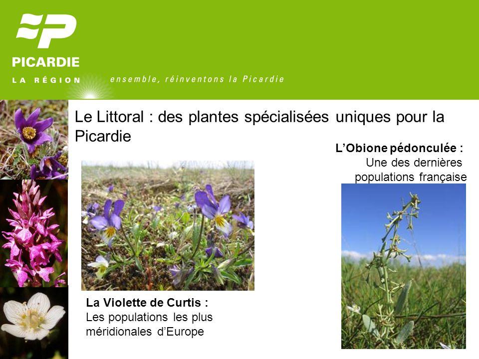Le Littoral : des plantes spécialisées uniques pour la Picardie La Violette de Curtis : Les populations les plus méridionales dEurope LObione pédoncul