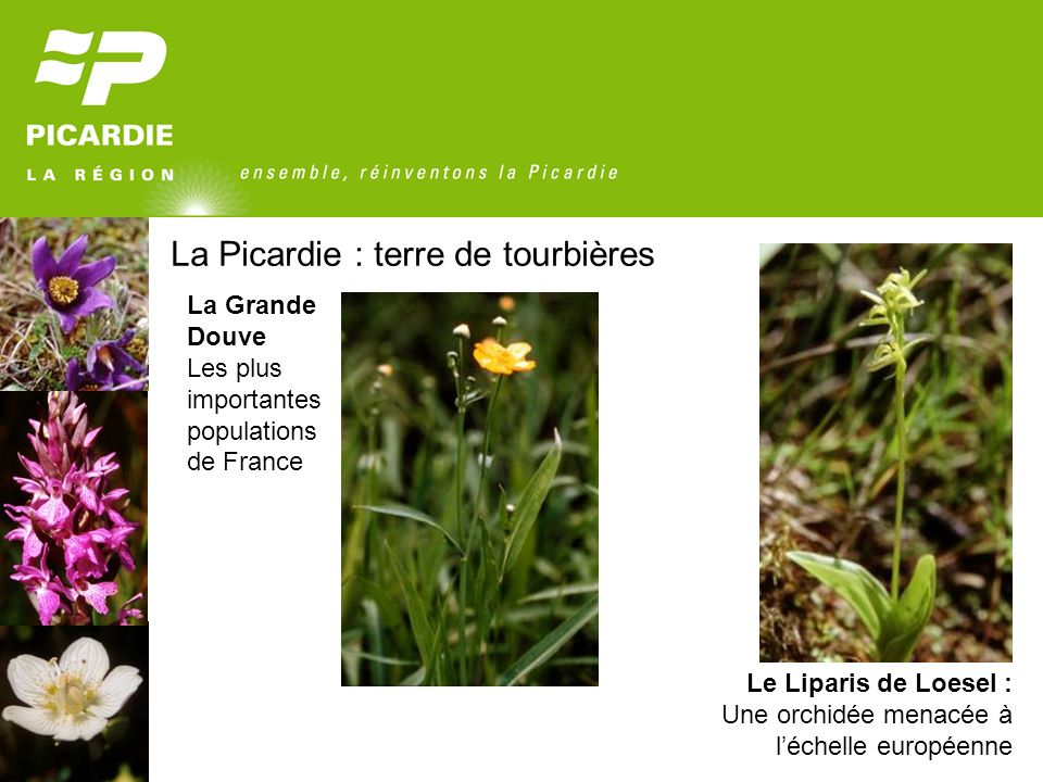 La Picardie : terre de tourbières Le Liparis de Loesel : Une orchidée menacée à léchelle européenne La Grande Douve Les plus importantes populations d
