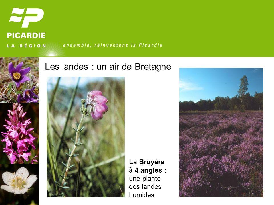 Les landes : un air de Bretagne La Bruyère à 4 angles : une plante des landes humides