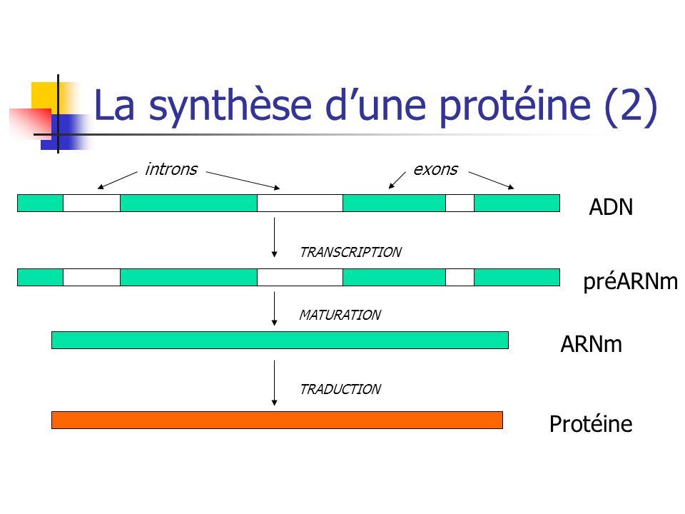 La synthèse dune protéine (2) ADN préARNm ARNm Protéine TRADUCTION MATURATION TRANSCRIPTION intronsexons