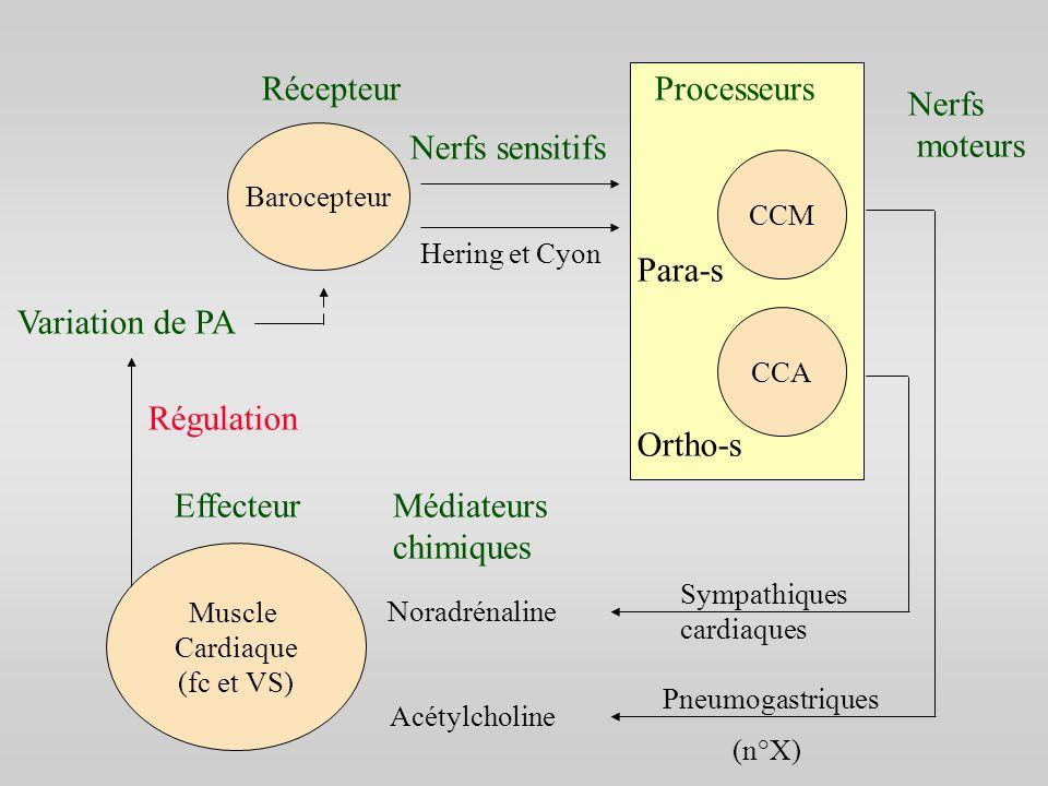 Muscle Cardiaque (fc et VS) Barocepteur CCM CCA RécepteurProcesseurs Nerfs sensitifs Hering et Cyon Nerfs moteurs Pneumogastriques Sympathiques cardia