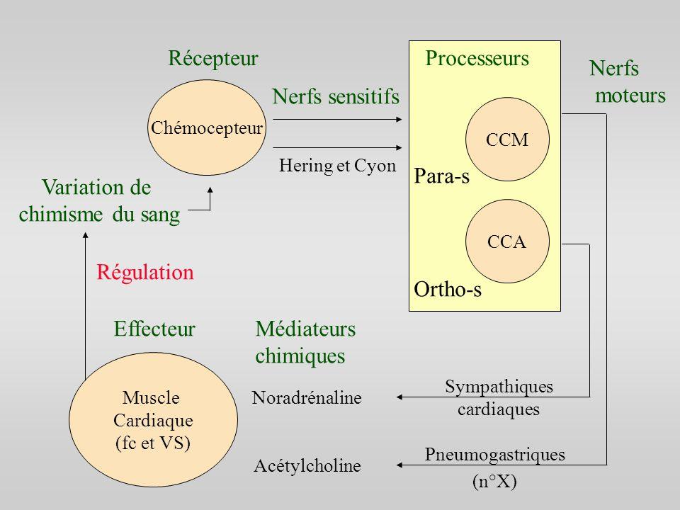 Muscle Cardiaque (fc et VS) Chémocepteur CCM CCA RécepteurProcesseurs Nerfs sensitifs Hering et Cyon Nerfs moteurs Pneumogastriques Sympathiques cardi