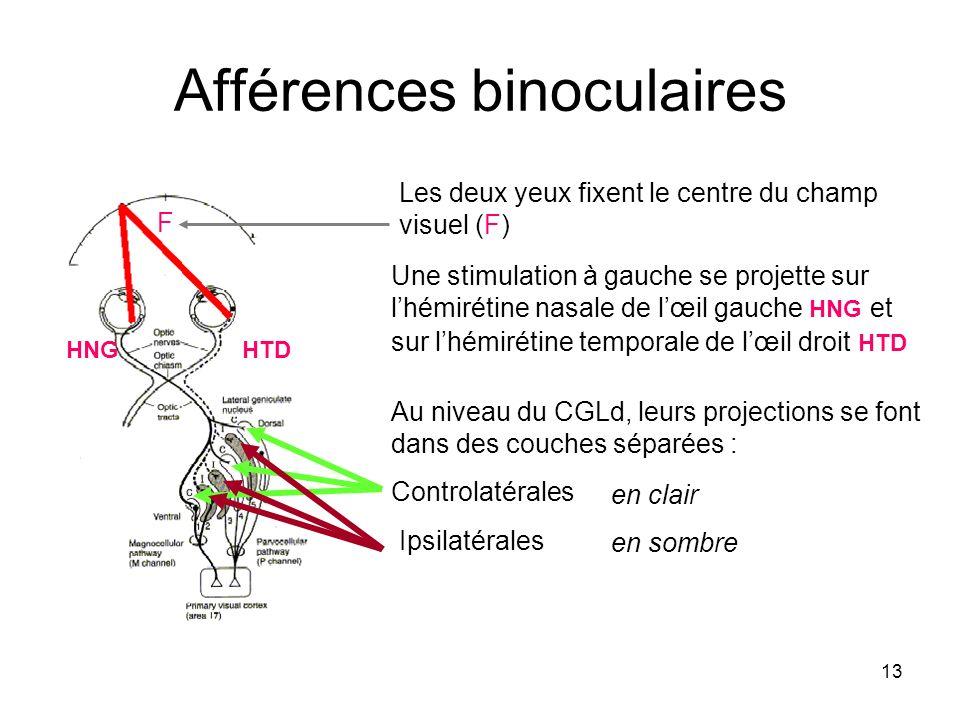13 Afférences binoculaires Les deux yeux fixent le centre du champ visuel (F) F Une stimulation à gauche se projette sur lhémirétine nasale de lœil ga
