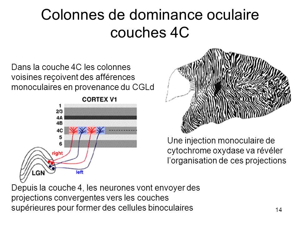 14 Colonnes de dominance oculaire couches 4C Dans la couche 4C les colonnes voisines reçoivent des afférences monoculaires en provenance du CGLd Une i
