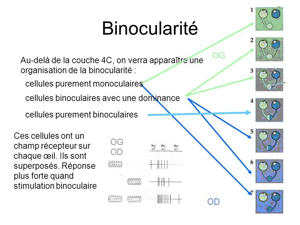 15 Binocularité Au-delà de la couche 4C, on verra apparaître une organisation de la binocularité : OG OD cellules purement monoculaires cellules binoc