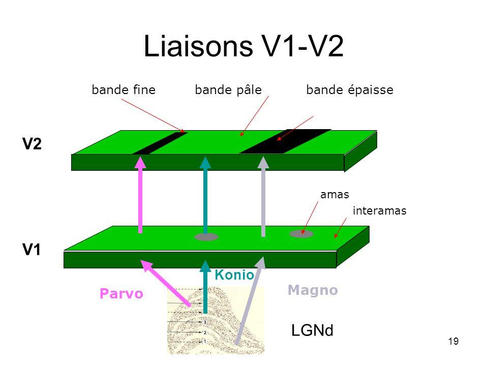 19 Liaisons V1-V2 Magno Parvo amas interamas bande épaissebande finebande pâle V1 V2 LGNd Konio