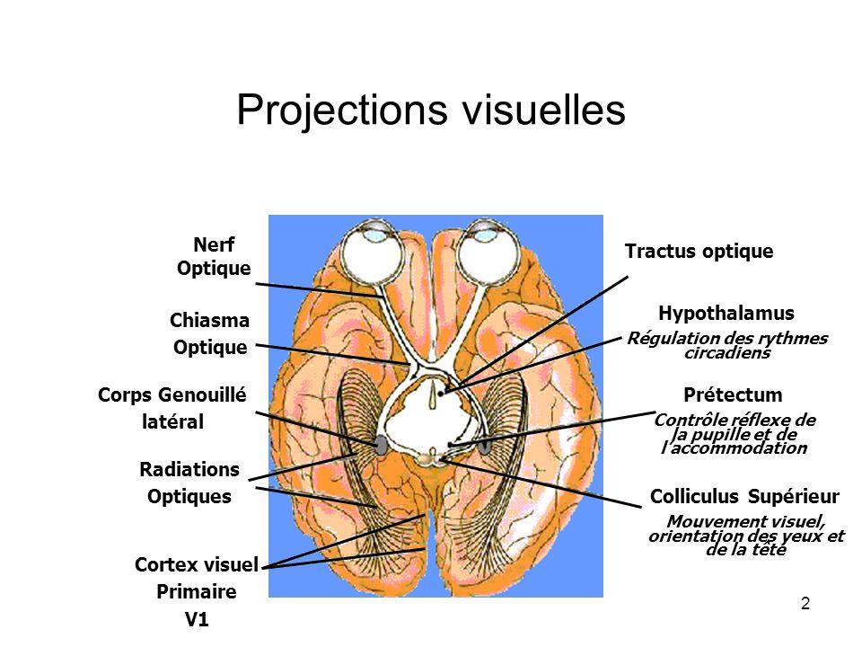 2 Projections visuelles Nerf Optique Chiasma Optique Corps Genouillé latéral Radiations Optiques Cortex visuel Primaire V1 Tractus optique Hypothalamu