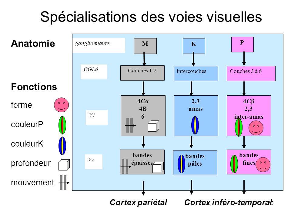 20 M K P ganglionnaires Couches 1,2 Couches 3 à 6intercouches CGLd 4Cα 4B 6 4Cβ 2,3 inter-amas 2,3 amas V1 bandes épaisses bandes fines bandes pâles V