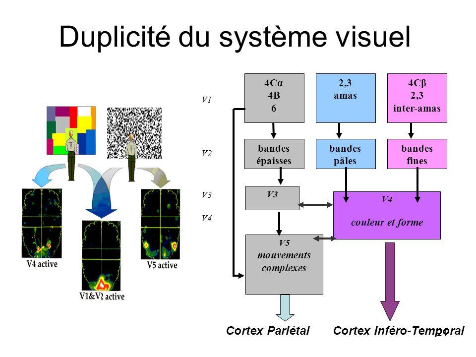 21 Duplicité du système visuel 4Cα 4B 6 4Cβ 2,3 inter-amas 2,3 amas V1 bandes épaisses bandes fines bandes pâles V2 V3 V4 V3 V4 couleur et forme V5 mo