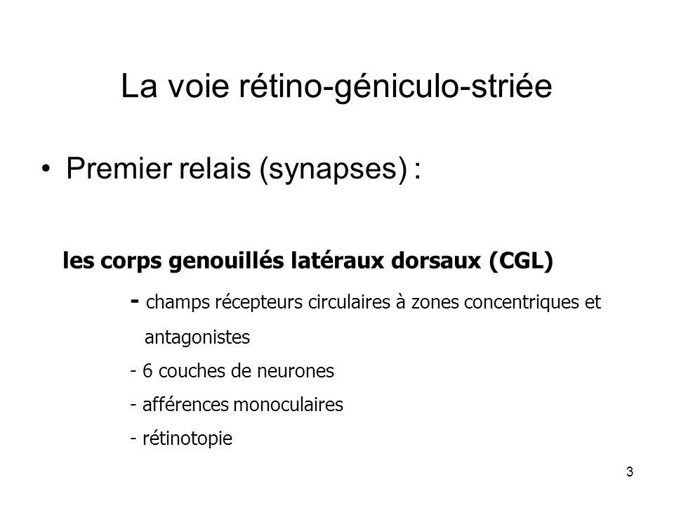 3 La voie rétino-géniculo-striée Premier relais (synapses) : les corps genouillés latéraux dorsaux (CGL) - champs récepteurs circulaires à zones conce