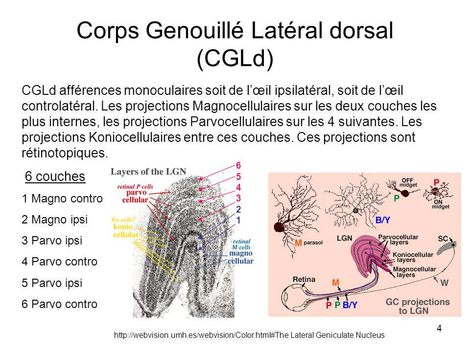 4 Corps Genouillé Latéral dorsal (CGLd) CGLd afférences monoculaires soit de lœil ipsilatéral, soit de lœil controlatéral. Les projections Magnocellul