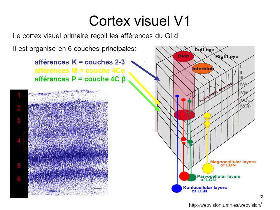 5 Cortex visuel V1 Le cortex visuel primaire reçoit les afférences du GLd. Il est organisé en 6 couches principales: http://webvision.umh.es/webvision